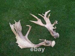 2 x Abnormal Fallow DEER STAG ANTLER TAXIDERMY ARTS AND CRAFTS GALLERY trophy