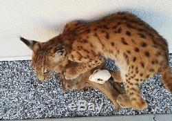 Stuffed and mounted Lynx cub TAXIDERMY ARTS AND CRAFTS gallery hanging